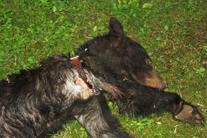 Hunter's Illegal Radio Collar Tortures a Bear Cub